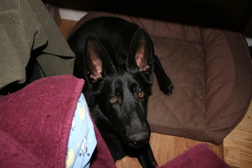 Sid, a solid black 7 month old Shedder puppy, lays half on the dog bed under my desk and looks up at me with wide eyes and ginormous ears.  My pajama and robe-clad knees are visible at the bottom of the frame, because I dress professionally when I work at home, yo.