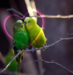 Love birds (JoelDeluxe) Tags: newmexico love birds animals zoo downtown heart albuquerque abq flare nm joeldeluxe hdr picnik albuquerquebiopark