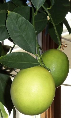 ชวนมาปลูกมะนาวกินเอง Meyer Lemons on Dwarf Citrus Tree Indoors
