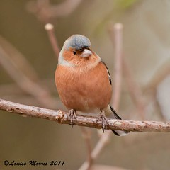 Chaffinch II (Louise Morris (looloobey)) Tags: branch hide chaffinch february2011