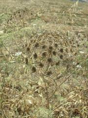 Finca del Nino summer 2017 (LindseyS2008) Tags: fincadelnino periana cantueso seed head