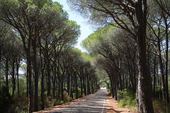Caprera (angelsgermain) Tags: road pinetrees perspective summer vacation holidays sky sea island caprera lamaddalena sardegna mediterranean italia italy