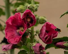 Zoom zoom / Zoem Zoem (Stef32Photo) Tags: bumbelbee hommel flyingbumbelbee vliegendehommel pink roze flower bloem nikon d5300 macro105mm noordholland northholland groen green daylight daytime overdag daglicht flying vliegen