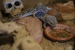 20170626X1913_Leopardgecko_0030 (RascheBilder) Tags: leopardgecko raschebilder