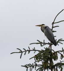 Grey Heron (?) (Sturla Sæthre) Tags: bird grey heron canon 6d sigma 150500mm tree nature norway