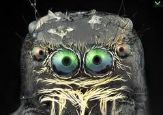 Spider eyes (aspolatt) Tags: sony a7ii mitutoyo zerene bugslabber microscope lens micrography macrography objective macro micro extrememacro closeup detail animal bug insect focusstacking longexposrue macromonday nature beautiful azerbaijan turkey color eyes hair