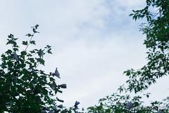 - (yamamoto hiro) Tags: canon6d eos6d biometar oldlens park tree flower