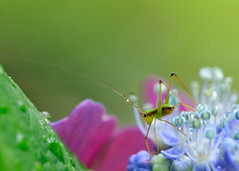 on the flower (myu-myu) Tags: flower nature japan insect hydrangea mygarden アジサイ 庭 昆虫 bej citrit nikkor105mmf28gvrmicro d300s