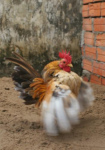 Trai gà serama A bán giá bộ đội......! - 12