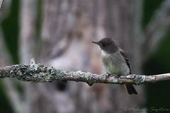 Eastern Wood-Pewee (~ Michaela Sagatova ~) Tags: bird nature perched dundas flycatcher easternwoodpewee contopusvirens dvca michaelasagatova