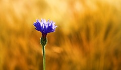 Kornblomst (Centaurea cyanus) (fantastrid) Tags: top20nature