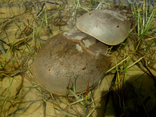 horseshoe crabs coupling