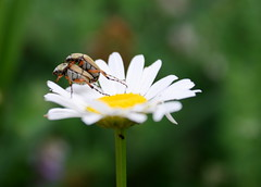 birds do it, bees do it, why not us? (nereis*01*) Tags: nature closeup daisies daisy easternontario bugsmating insectsmating