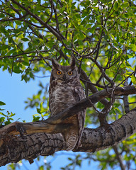 Great Horned Owl (Larry Golden Photography) Tags: sky tree wings eyes wyoming animalplanet jacksonhole grandtetonnationalpark owel greathornedowel