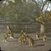 Kangaroos in Zoo, Adelaide