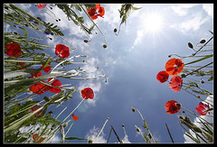 From below [Explored!] (Jamie White.) Tags: blue red sun green sunshine clouds star bluesky poppy wildflowers ultrawide cornflower uwa tokinaatx116prodxf28 winnershootabootbestphotographoftheyear2010 wwwjamiewhitephotographycouk