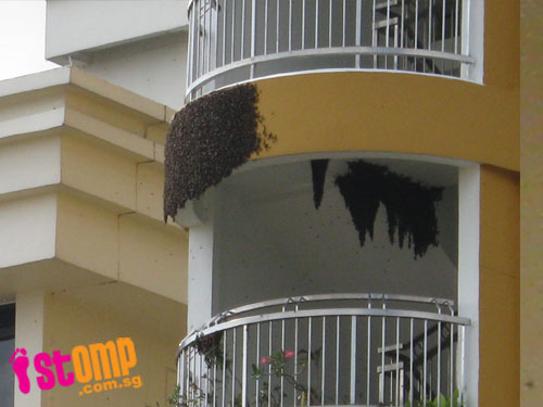 So scary! Look at the size of this swarm of bees at Hougang block