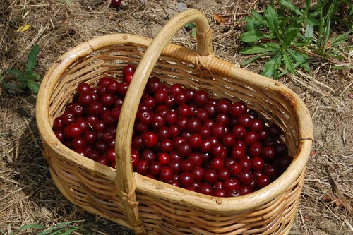 sour cherry picking