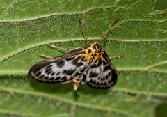 Moth (Chris McLoughlin) Tags: uk england macro nature closeup wildlife sony yorkshire moth 100mm westyorkshire yorkshirewildlifetrust sal100m28 sonyalphaa300 chrismcloughlin brockadalenaturereserve