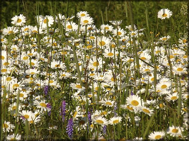 P1100870_daisies