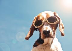 Floyd flares (Paguma / Darren) Tags: dog goggles hound floyd doggles tamronspaf1750mmf28xrdiiildasphericalif f64g22r3win