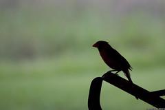 2690 Cardinal profile posing