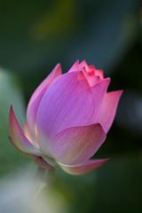 Morning Blossom (Claire Chao) Tags: morning pink flower green flora lily lotus blossom taiwan 台灣 荷花 morningflower 安康農場 canoneos5dmarkii ntuankangfarm