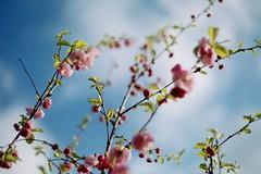 04-06-10 (ethan) Tags: flowers blue sky tree film cherry 50mm blossom pentacon f18 praktica mtl3