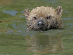 Bush dog swimming (gentle lemur) Tags: chesterzoo bushdog speothosvenaticus