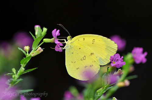 Common Grass Yellow(Eurema hecabe)-寬邊黃粉蝶-3