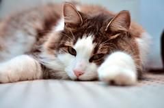 Heatwave (flossyflotsam) Tags: cute cat bathroom 50mm sleepy heatwave tiberius tybr bokehhearts