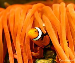 Nemo is supporting the Dutch soccer team  Orange period (kees straver (will be back online soon friends)) Tags: sea orange fish game sports water dutch field grass sport coral ball zoo aquarium football underwater nemo stadium clown scuba diving explore clownfish anemone worldcup futbol colorphotoaward canoneos5dmarkii keesstraver soccerteam fifaworldcup