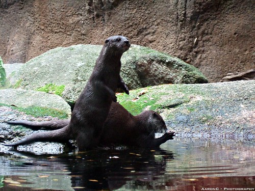 Double trouble Otters