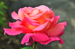A Rose of Peace. (john a d willis) Tags: rose peace hybrid homegrown naturesfinest chicagopeace fantasticflower abigfave flickrdiamond