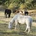 horses_alpacas_001