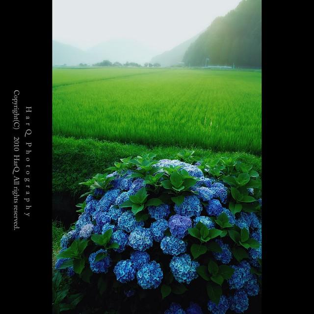 Hydrangea *