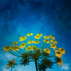 Sun worship (borealnz) Tags: blue light summer sun painterly flower texture square paint bright lookingup glowing fennel bsquare flypapertextures summerpainterly borealnz