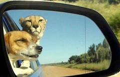 Lucky the Cheetah