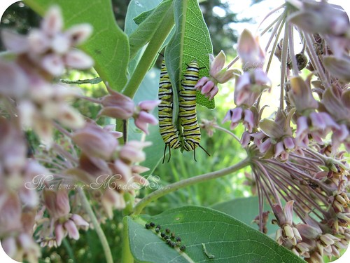monarch caterpillars on milkweed plant