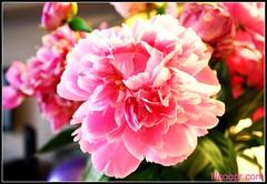 lilcoopr's Go Badges (lilcoopr) Tags: 3d badge pinkflower minicooper pepperwhite rims 2009 clubman jcw ozwheels ozracing johncooperworks lilcoopr jcwexhaust gobadges