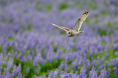 Short-eared Owl (Asio flammeus) (m. geven) Tags: blue bird nature animal fauna iceland blauw adult natuur raptor predator dier lupine avian birdofprey vogel isl avifauna blueflower birdinflight nightbird roofvogel flyingbird shortearedowl asioflammeus ijsland redlist mrar jagend bogarnes sumpfohreule nachtvogel rodelijst avianexcellence hiboudesmarais lupinusnootkatensis velduil underwingview vliegbeeld rodelijstsoort volwassenvogel vliegendevogel schaarsebroedvogel foeragerend scarcebreedingbird ijslandiceland nootkalupin alaskalupine blauwebloem dagactief rodelijstnederland grondbroeder activeduringdaytime