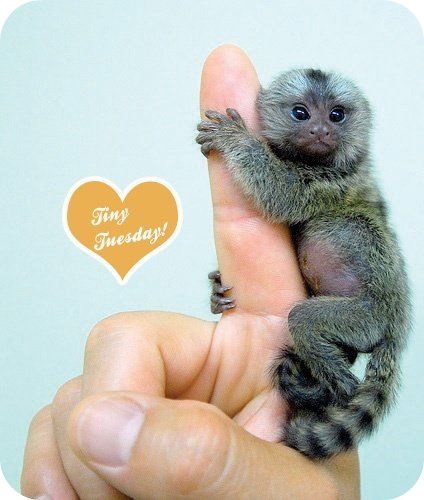 baby-pygmy-marmoset copy
