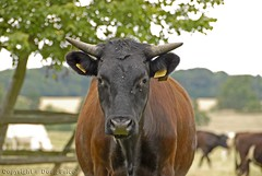 """How Now Brown Cow?"" (Doug Price.) Tags: brown black cow horns blackandbrown"