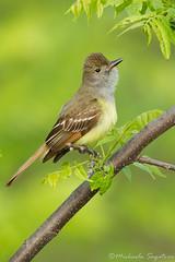 Great Crested Flycatcher (~ Michaela Sagatova ~) Tags: bird nature flycatcher greatcrestedflycatcher myiarchuscrinitus michaelasagatova