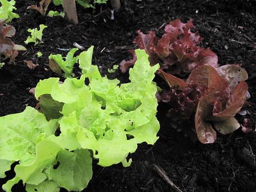 operation neighbors garden / lettuce