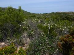 Sentier supérieur Rondinara - Balistra  : maquis en fleur
