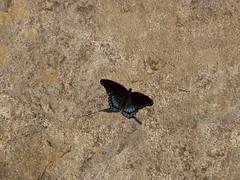 Red-Spotted Purple Butterfly, Graveyard Fields, North Carolina (netbros) Tags: blue butterfly north ridge parkway carolina graveyardfields upperfalls limenitisarthemis redspottedpurplebutterfly netbros internetbrothers