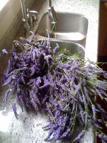 Lavender bandit
