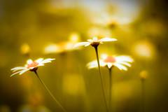 izza daizzery (harold.lloyd) Tags: light flower yellow weird bokeh yes daisy meh ofcourse kinda 50mmf14 gow izza likethese thegogglestheydonothing daizzy ohitburns daisery thisyellowismakingmethirsty andlooksverylikeawholebunchofotherdaisiesihaveuppedinthepast orrathermeandflickr aboutthetags andpossiblyalsogetsawholenewlineofitsownonceyouvefinished andthelineheightcssbetweenthetagsseemstobeoddtoo yeslotsofyellow haventputthattagdownforages notthelightlikeiwantedthough notsurewhatsgoingonwiththeformattingoftagshere butthenmeandtagshaveabitofanargumentgoingon soitlookslikewhenyouputinanicelongtaglikethisitstartsanewlineforyou whereaslittletags stayinoneline asdoesmyabilitytoleavespacesintherightplaces