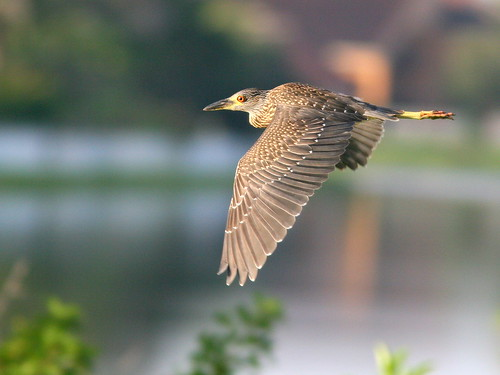 Yellow-crowned Night-Heron 2-20100719